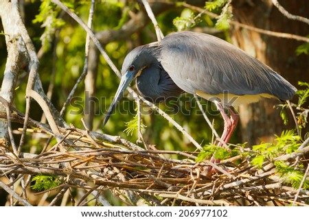 Tricolored Heron building a nest - stock photo