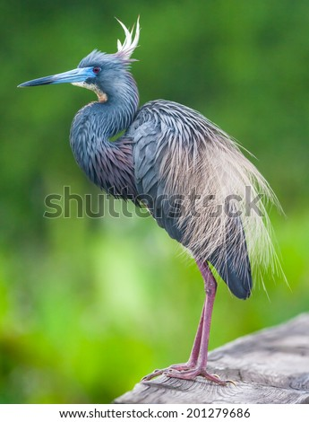 Tricolored Heron (Egretta tricolor) - stock photo