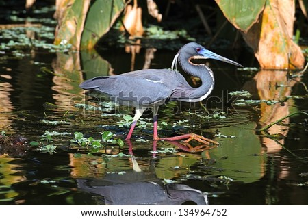 Tricolored Heron (Egretta tricolor) fishing in a pond with a reflection in the Florida Everglades - stock photo