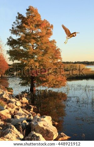 Tricolored Heron Flies Past A Bald Cypress in Fall Colors at Lakes Edge - stock photo