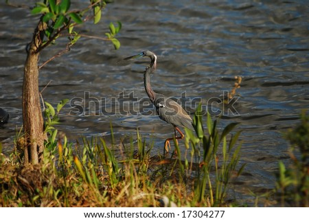 Tricolored heron in the Florida Everglades - stock photo