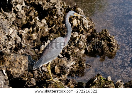 Tricolored Heron searching for food in the water on a cool, fall morning - stock photo