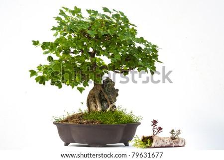 Trident Maple bonsai - stock photo