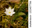 Trientalis europaea is a plant in the Primulaceae family - stock photo