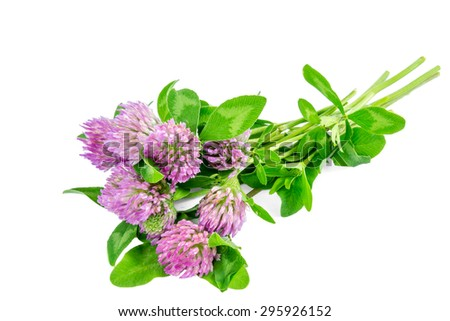 Trifolium pratense (red clover) isolated on a white background  - stock photo