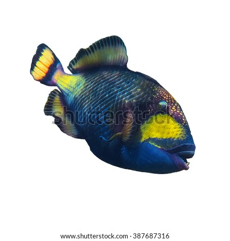 Trigger fish / coral fish isolated on the white background - stock photo
