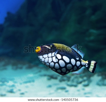 Trigger-fish (Crossbow- clown) - stock photo