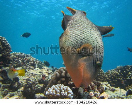 Trigger fish searching for food