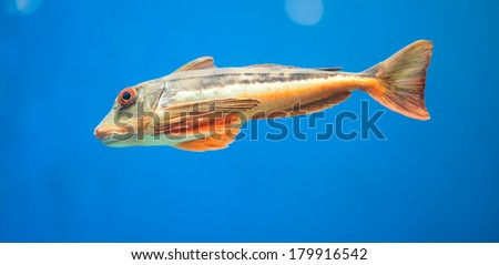 Triglidae stock photos images pictures shutterstock for What is the fastest swimming fish