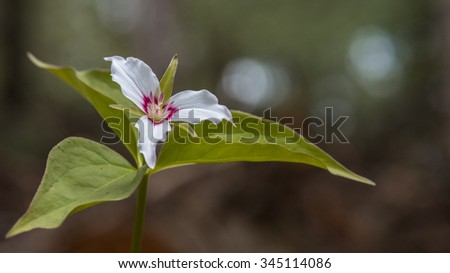 Trillium - stock photo