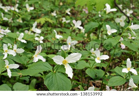 Trillium carpet the forest floor.  Trilliums are protected as the provincial flower of Ontario Canada - stock photo