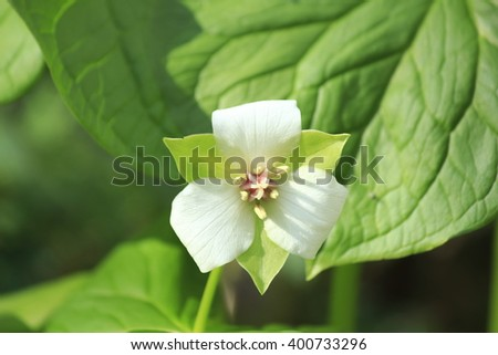Trillium flower - stock photo