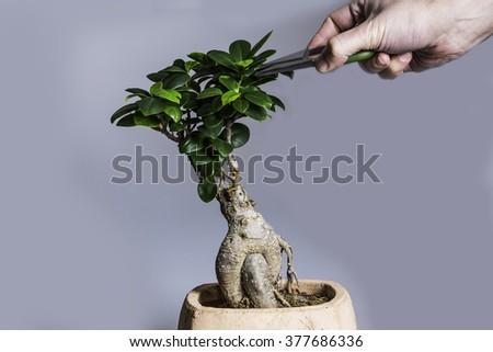 Trim Bonsai On Grey Background - stock photo
