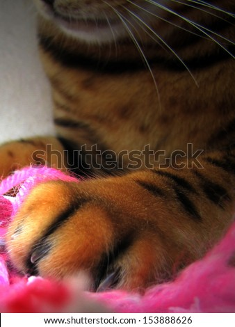 Trimmed nails bengal cat claws paw close up on pink - stock photo