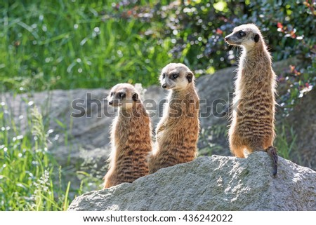 Trinity of Meerkats sitting on a rock in the upright position. The two are looking at the camera and one on the left - stock photo