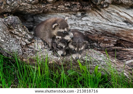 Trio of Baby Raccoons (Procyon lotor) Climb Over Each Other - captive animals - stock photo