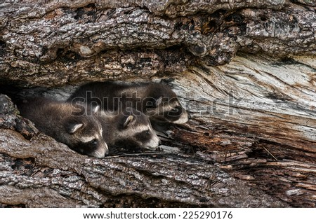 Trio of Baby Raccoons (Procyon lotor) Peek Out from Tree - captive animals - stock photo