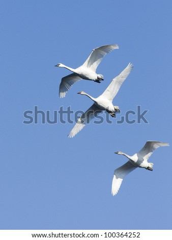 Trio of Trumpeter Swans in front of Blue Sky - stock photo