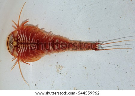 Triops Granarius Are Considered Living Fossils With A Fossil Record That Reaches Back To The