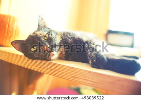 Persian Cat Longhaired Breed Cat Characterized Stock Photo
