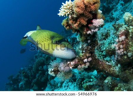 Triton Triggerfish feeding