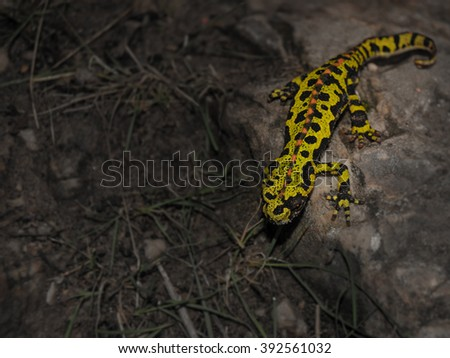 Triturus marmoratus - stock photo