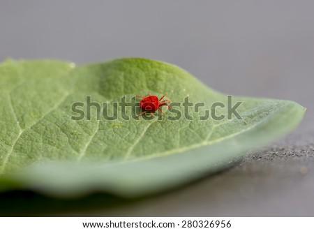 Trombidiidae on a green leaf. - stock photo