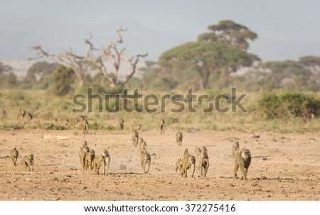 Troop of Olive baboons in Amboseli, Kenya - stock photo