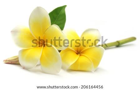 Tropcal Frangipani over white background - stock photo