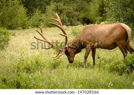 Trophy bull elk chewing on grass in meadow with large antlers in full summer velvet
