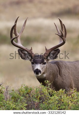Trophy class Mule Deer Buck with heavy, massive antlers, Odocoileus hemionus, stands alert while feeding on lush green browse Mule Deer hunting in the western U.S.  - stock photo