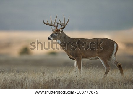 Trophy class white tailed buck deer in midwest farm country - stock photo
