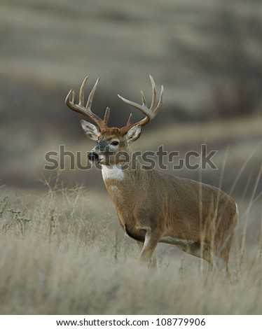Trophy class white tailed buck deer in midwest prairie habitat; vertical format - stock photo