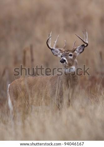 Trophy Class Whitetail Buck - stock photo