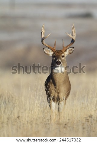 Trophy Class Whitetail Buck with very tall 10 point antlers free range deer hunting in midwestern states Ohio Illinois Indiana Michigan Wisconsin Minnesota Missouri Kansas Nebraska North South Dakota  - stock photo