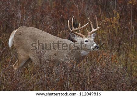 Trophy 10 point Whitetail Buck Deer in autumn habitat, Flathead Indian Reservation, Montana; White tailed / White-tail / White-tailed / whitetailed / White tail - stock photo