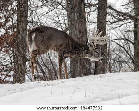 Trophy sized whitetail buck deer in early winter.  Winter in Wisconsin - stock photo
