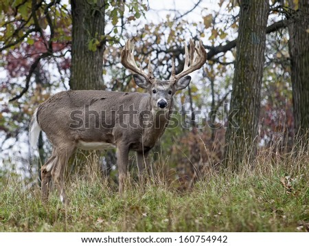 Trophy sized whitetail deer buck profiled, looking at the camera.  Autumn in Wisconsin - stock photo