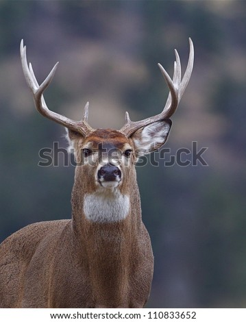 Trophy Whitetail Buck Deer, isolated portrait, Palouse Prairie, Montana, USA; big game hunting; white-tailed, white-tail, white tailed, whitetailed - stock photo