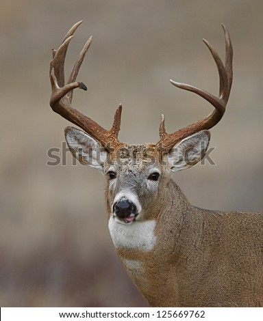 Trophy Whitetail Buck Deer midwestern deer hunting Illinois Ohio Wisconsin Minnesota Michigan Indiana Iowa Missouri Kentucky Nebraska Dakotas white tail / white-tailed / tailed / white-tail - stock photo