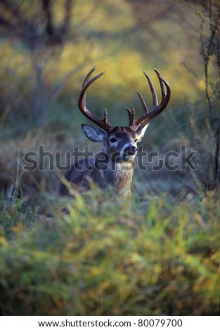 Trophy Whitetail Buck in Brush.  The whitetail deer is considered America's favorite big game animal, and is wound throughout much of the United States.  This deer's antlers indicate it is mature. - stock photo