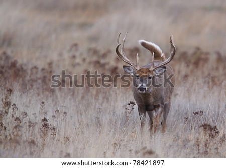Trophy Whitetail Buck, walking with tail up - stock photo