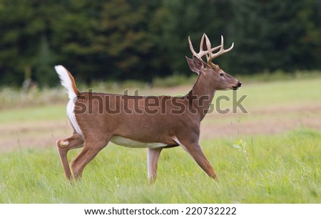 Trophy whitetail deer buck trotting across an open field. - stock photo