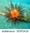 Tropic Sea Urchin - stock photo
