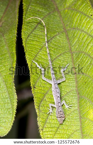 Tropical Anole (Anolis trachyderma) at rest in the rainforest understory, Ecuador. - stock photo