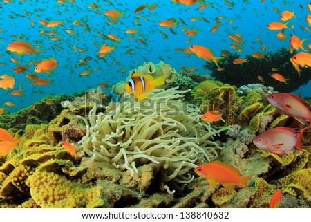 Tropical Anthias fish with corals and anemones on Red Sea reef underwater - stock photo