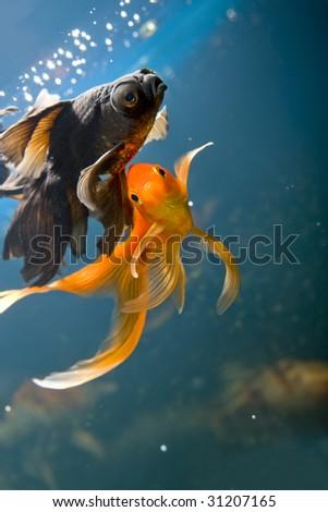 Tropical aquarium fish macro shot - stock photo