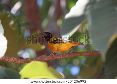 Tropical Bird on Branch. Uganda, Africa. - stock photo