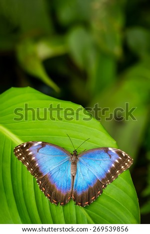 Tropical blue butterfly with green background - stock photo