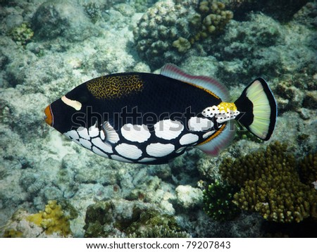 tropical Clown triggerfish in Maldives - stock photo